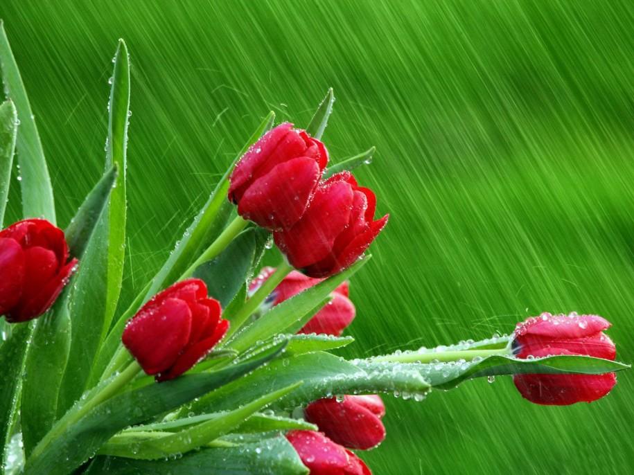 rose-buds-3d-widescreen-desktop-pc-wallpapers-free-download-915x686 1